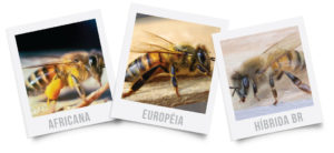 appis-mellifera-europeia-africana-hibrida-brasileira-genetica-apicola