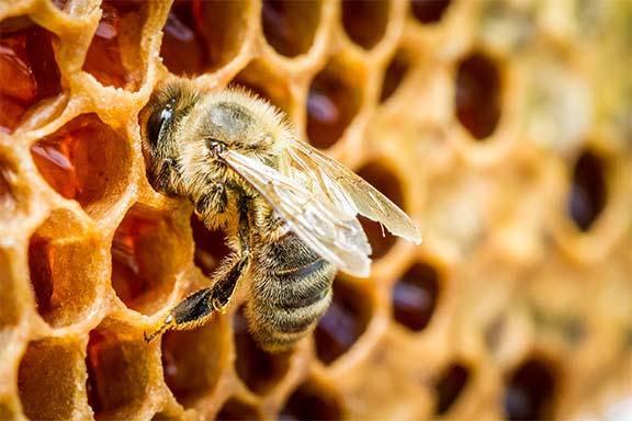 Como é produzido o mel a partir do nectar das abelhas?