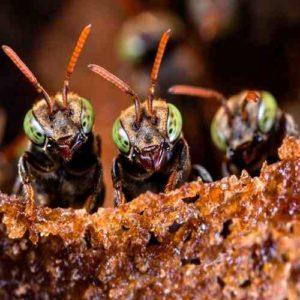 abelha irai