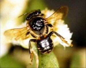 abelha manduri ou monduri