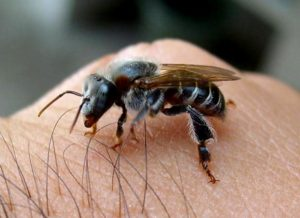 abelha-tiuba
